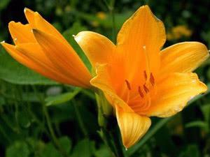 Квітка Лілія в саду