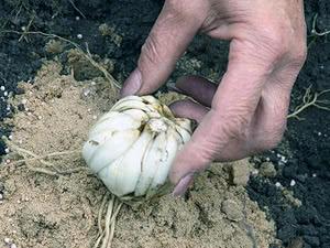 Покупка луковиц лилий