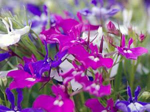 Квітка лобелія