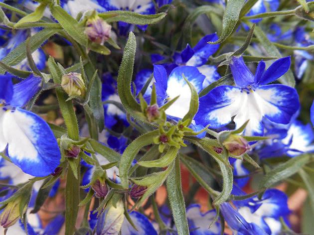 Blue-white lobelia