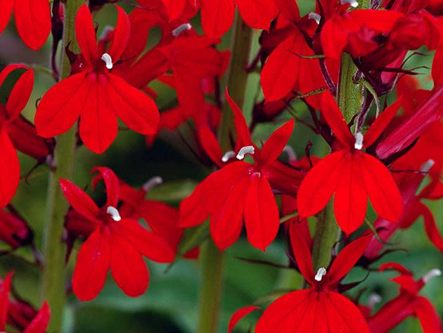Cardinal flower (lobelia speciosa)