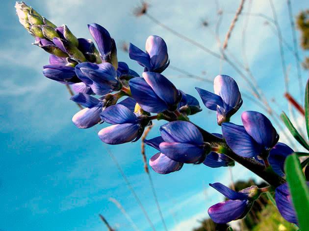 Люпин узколистный или синий / Lupinus angustifolius
