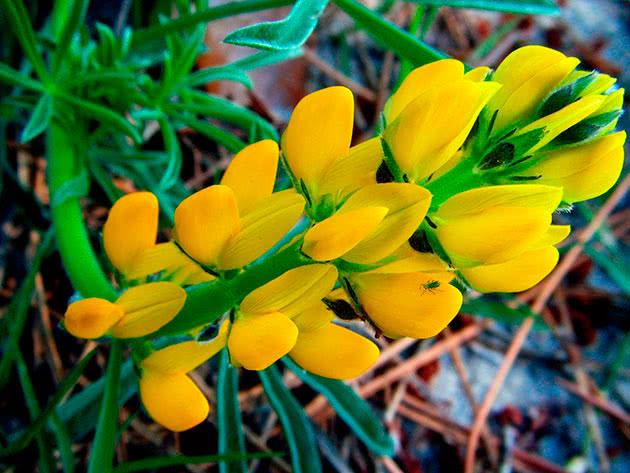 Люпин желтый / Lupinus luteus