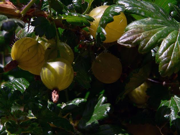 Ягоди аґрусу на кущі