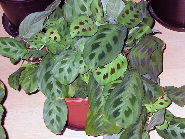 Рослина маранта біложильчаста Керховена
