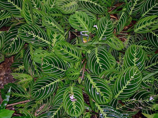 Рослина маранта