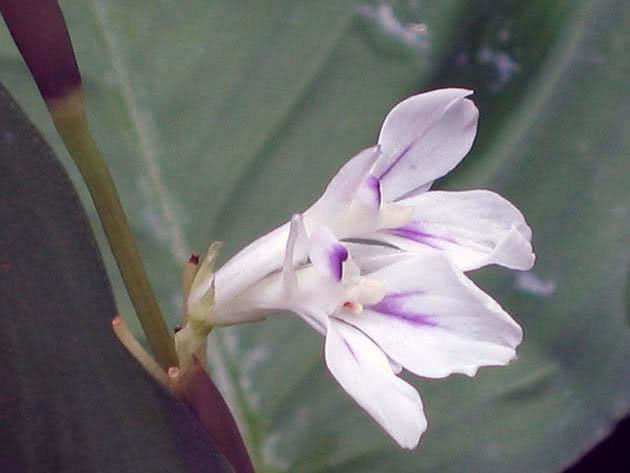 Цвітіння маранти
