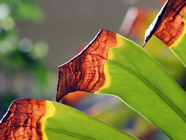 У монстери сохне листя