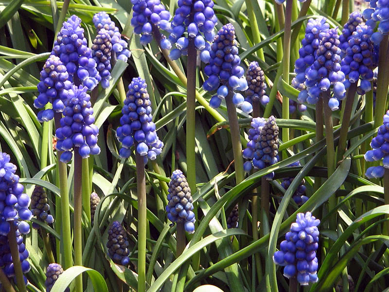Armenian grape hyacinth (Muscari armeniacum)