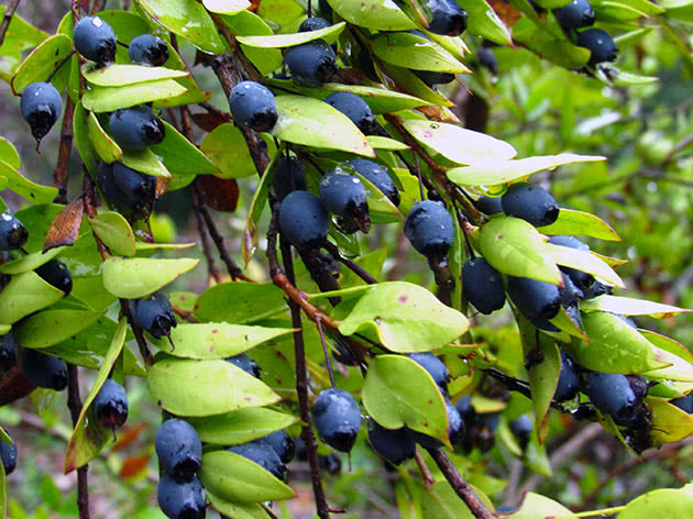 Myrtle branch with berries