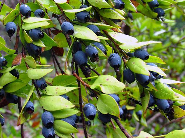 Гілка мирта з ягодами