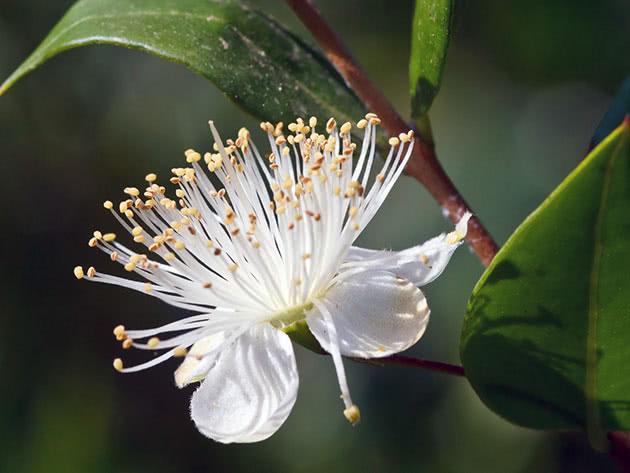 Мирт звичайний / Myrtus communis