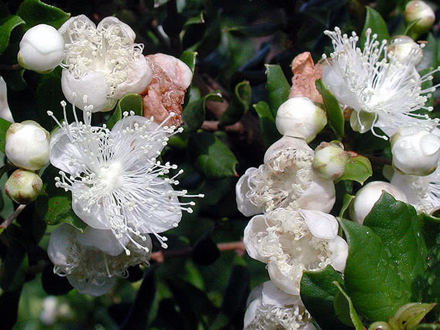 White Chilean myrtle / Myrtus chequen