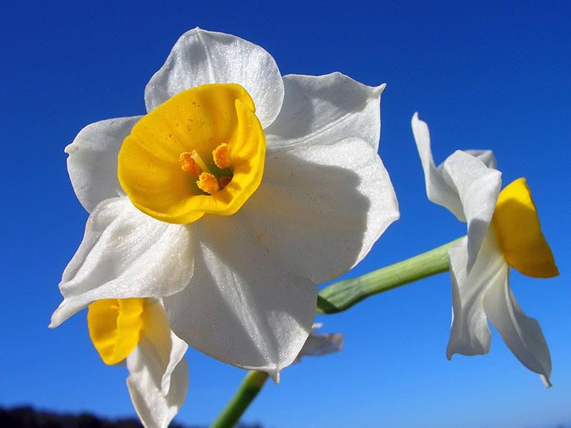 Многоцветковый или тацетовидный нарцисс (Tazetta, Bunch-flowered)