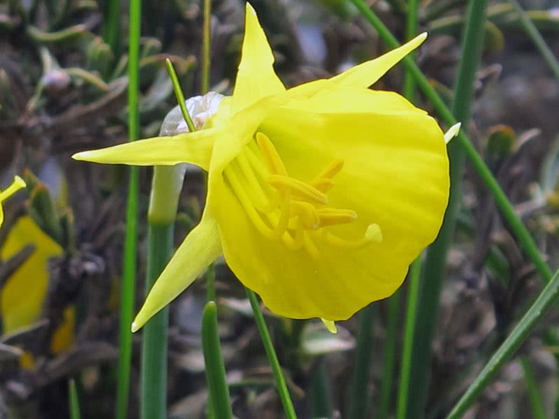Бульбокодиум нарцисс (Bulbocodium Hybrids)