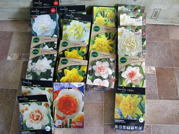 Bulbs of daffodils