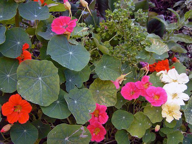 Growing nasturtium in the garden