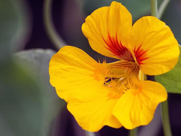 Настурція велика жовта