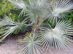 Комнатные пальмы и их названия
