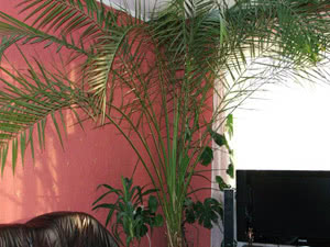 Какие есть комнатные пальмы