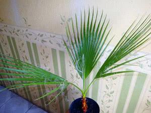 Список комнатных пальм