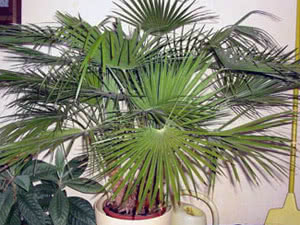 Правильні назви пальм