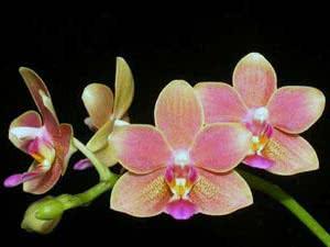 Карл Линней – дал названия комнатным цветам