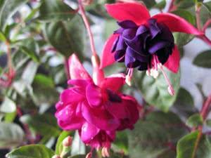 Толстянка или Денежное дерево – народное название цветка Крассула