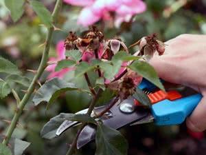 Як обрізати троянди