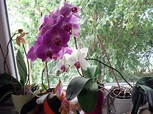 Вирощування орхідеї вдома
