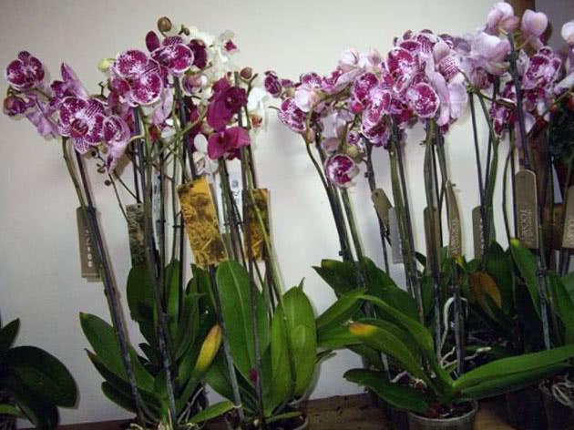 Вирщування орхідей в домашніх умовах