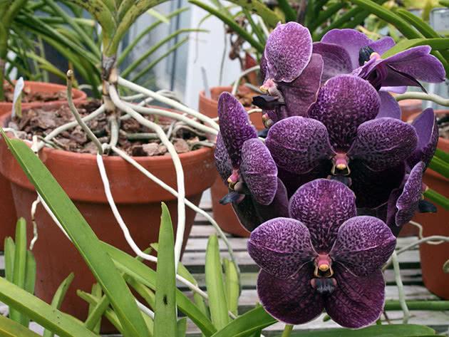 Квіти орхідеї ванди