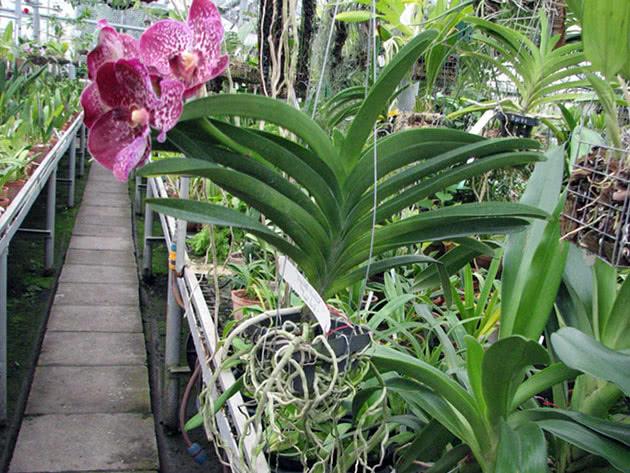 Орхидея ванда в оранжерее