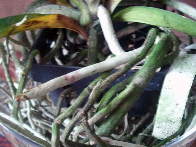 Коріння орхідеї ванди в горщику