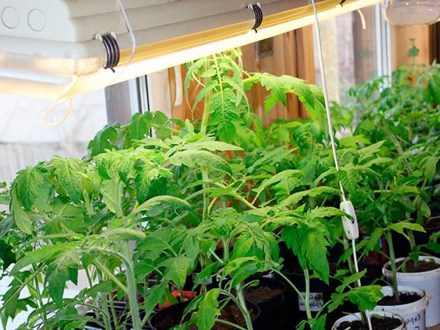 Досвечивание овощей флуоресцентными лампами