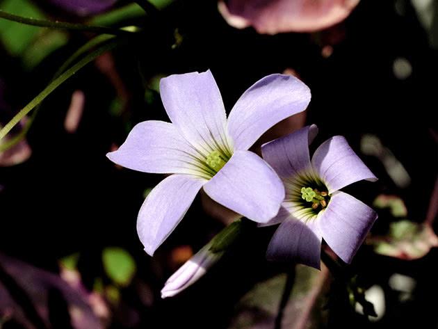 Квіти квасениця або оксаліс