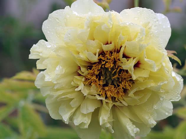 Півонія молочноквіткова жовта