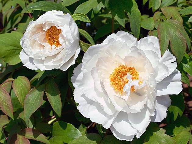 Белые пионы в саду