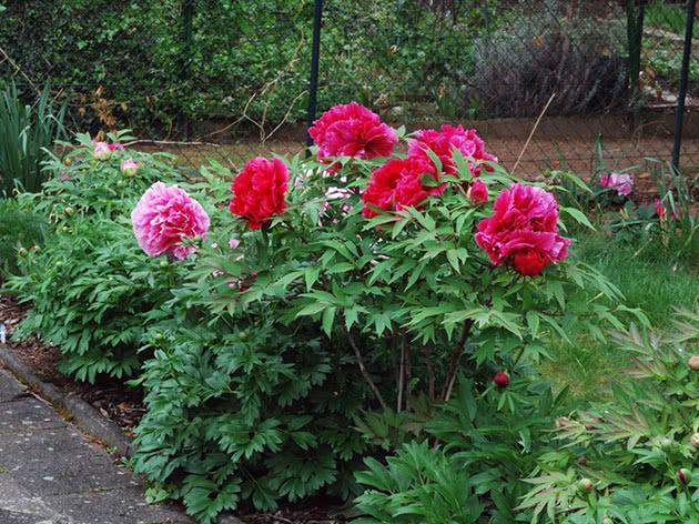 Куст древовидного пиона в саду