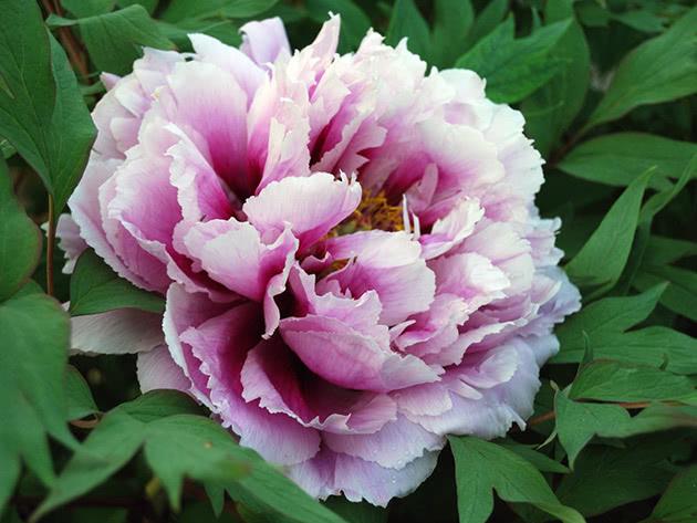 Фиолетово-белый древовидный пион