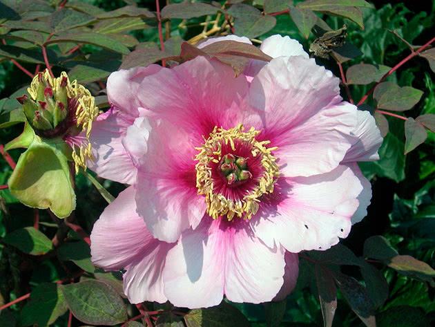 Розово-белый пион древовидный
