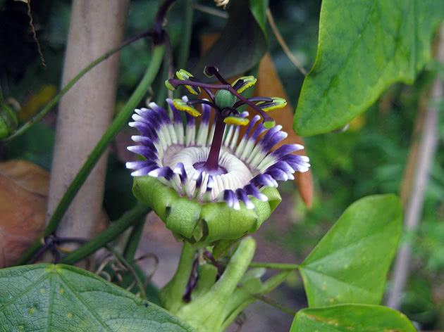 Комнатный цветок пассифлора
