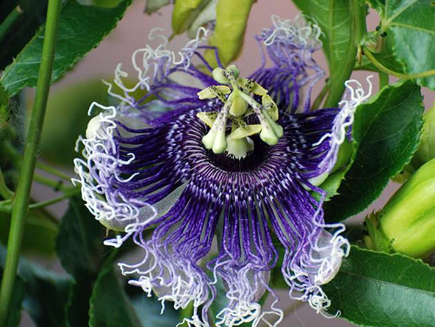 Комнатное растение пассифлора
