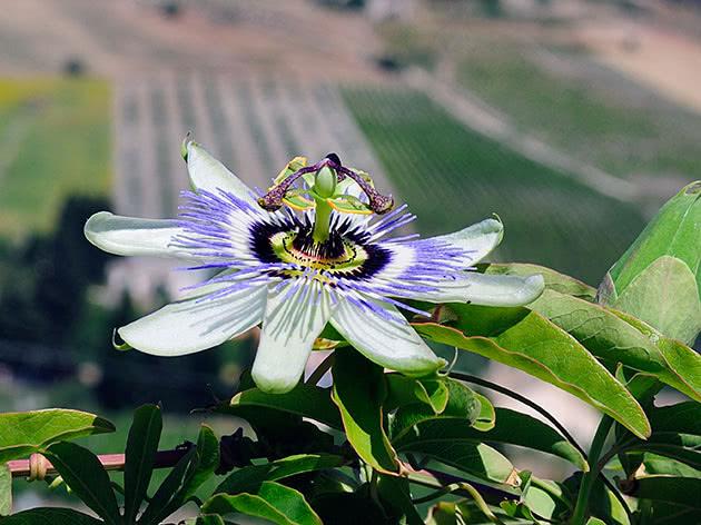 Квіти пасифлора