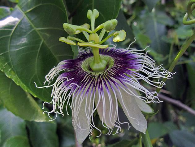 Пассифлора съедобная / Passiflora edulis