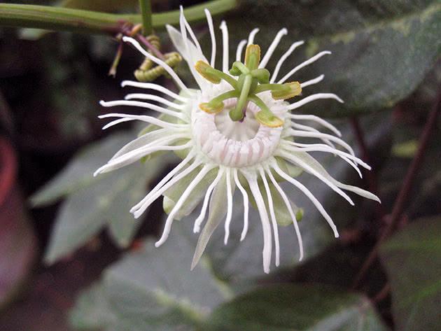 Пассифлора трехполосая / Passiflora trifasciata