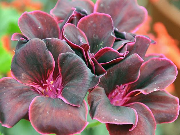 Пеларгония королевская / Regal pelargonium