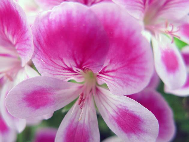 Розовая королевская пеларгония