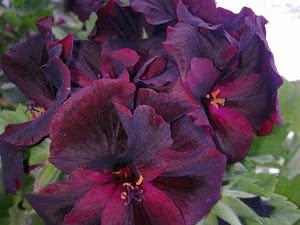 Темно-фіолетова королівська пеларгонія
