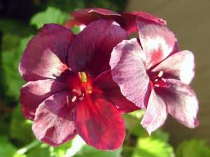 Квіти королівської пеларгонії